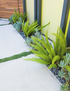 Landscape designer Bernard Trainor's creative use of poured-in-place concrete pavers—such as off the living room, where they break up a low-maintenance lawn of June grass—give the irregularly shaped lot a sense of order. Foxtail ferns and blue chalk sticks, a succulent, lend dashes of color to the entry courtyard, while thyme makes for a fragrant accent between the pavers.