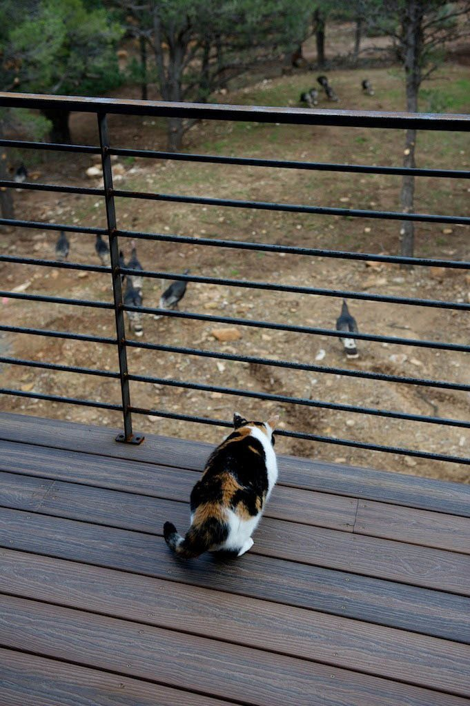 The couple's Calico cat, Popper, watches a flock of hen turkeys from a deck. Photo by Barry B. Doyle.  Photo 7 of 8 in Mountaintop Modern
