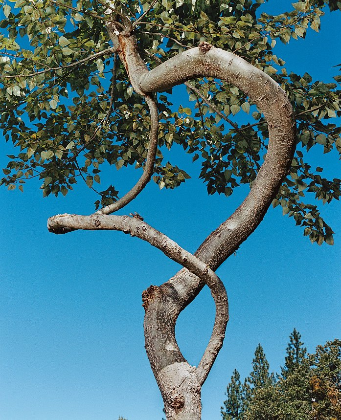 Two branches of a 20-foot-tall poplar spiral around one another.  Photo 5 of 6 in Branching Out