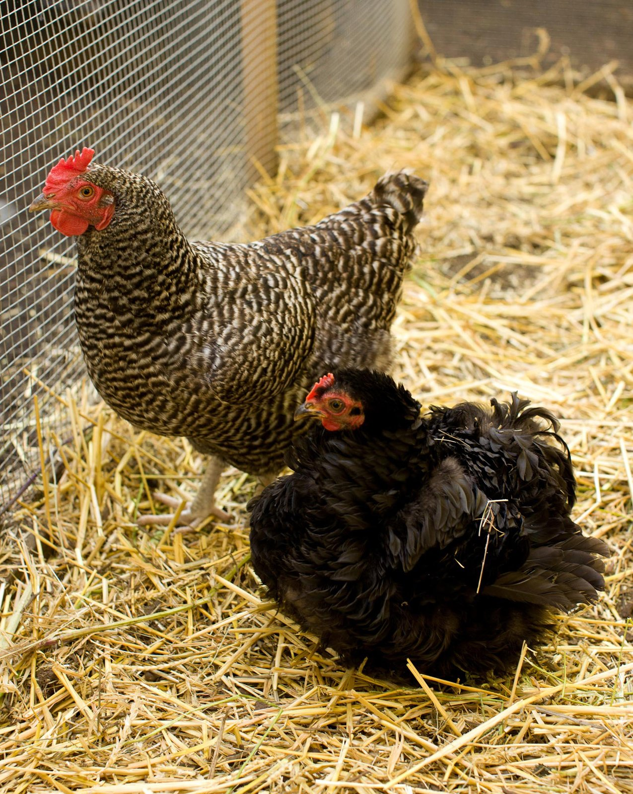 "Portland permits each household up to three hens (no roosters), and in February 2009, Snyder had the plans in the works in Google SketchUp. Around the same time, the duo also got their chicks, housing them under lamps in the basement until the coop was completed. ""We didn't know what they were going to be like,"" Snyder says. ""But we didn't just get them for the eggs; they're really fun as pets, too.""  Photo 2 of 9 in Coop Dreams"
