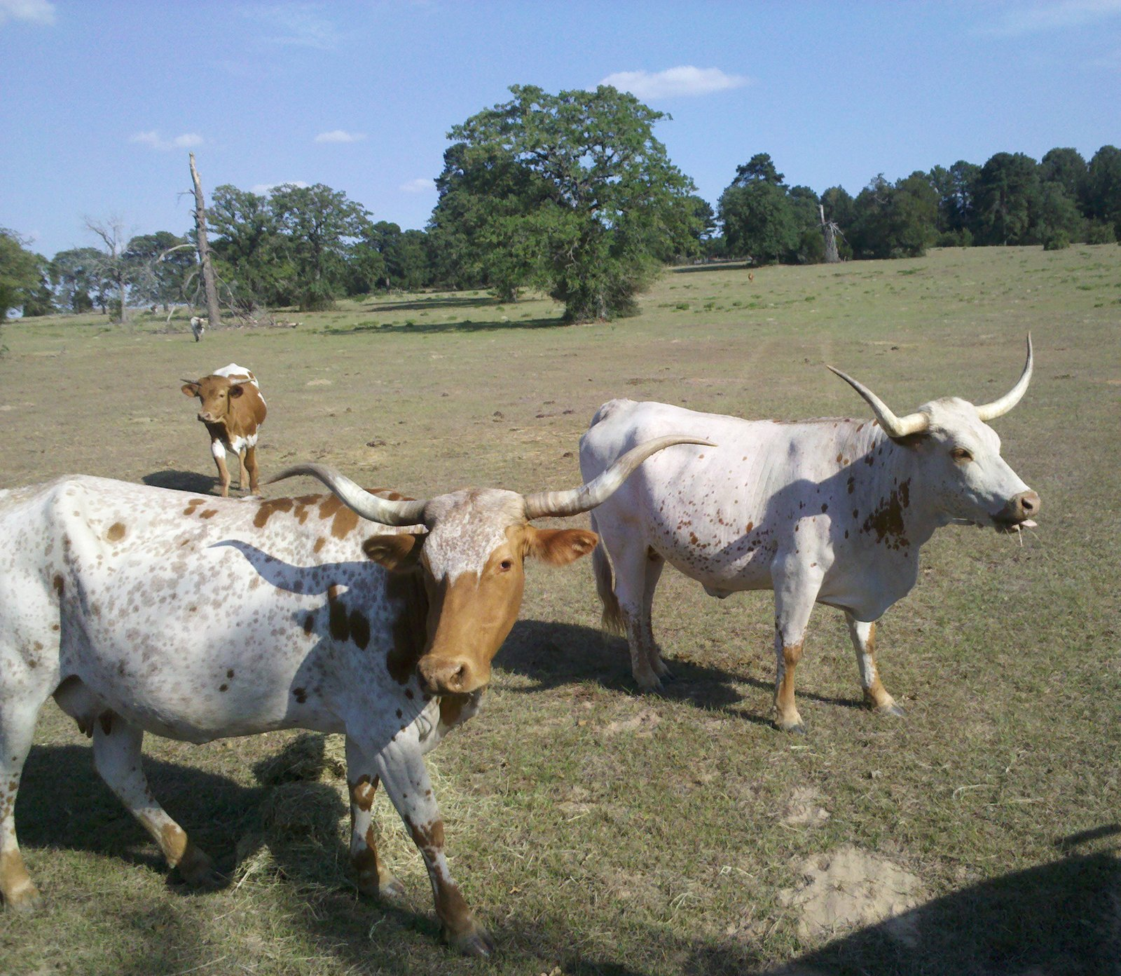 The 9E Ranch owners took us on a tour of their 300 acres, and we were given the special treat of getting a close-up hello from their 12 longhorns. From the back of their pick-up truck, we were even able to hand-feed a few.  Three Days in Austin, Texas by Miyoko Ohtake