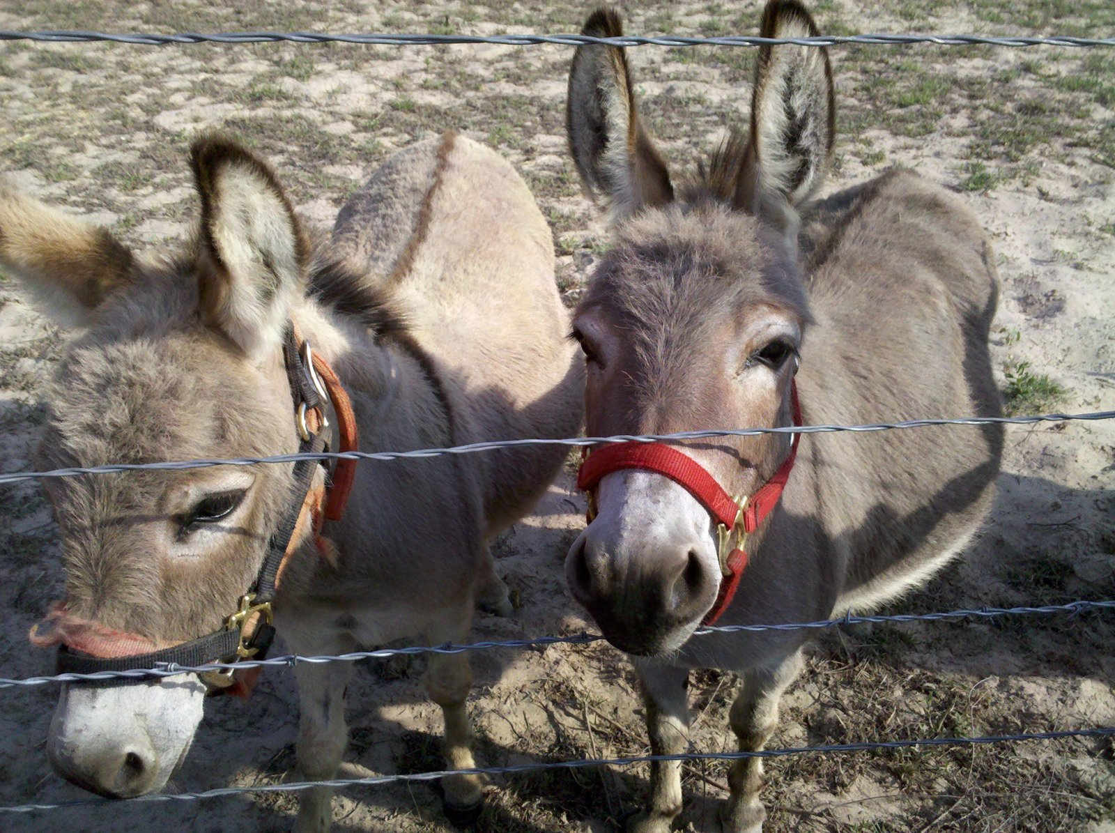 Also on the ranch were several miniature donkeys!  Three Days in Austin, Texas by Miyoko Ohtake