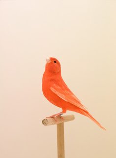 To complete The Incomplete Dictionary of Show Birds series, British photographer Luke Stephenson had to enter the close-knit world of dedicated bird breeders. The subject matters' beauty, in all of its variations and colors, gracefully perch against a simple backdrop.  Seen here: Red Canary #1. Via Luke Stephenson. (Pin)