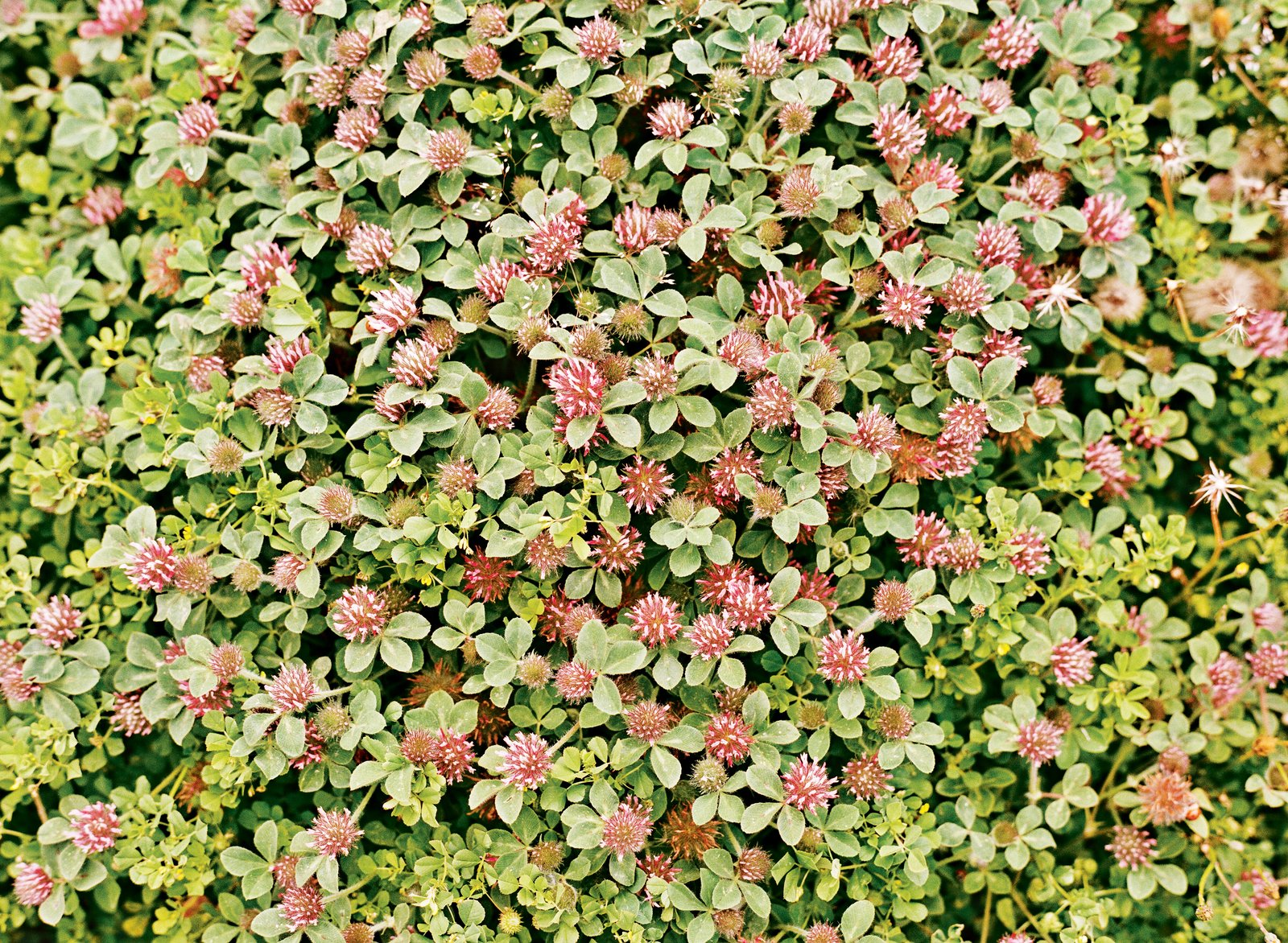 Plantings such as red clover and weeds, including black medic, are watered and pollinated naturally.  野草 from A Two-Part Landscaping Renovation in San Francisco