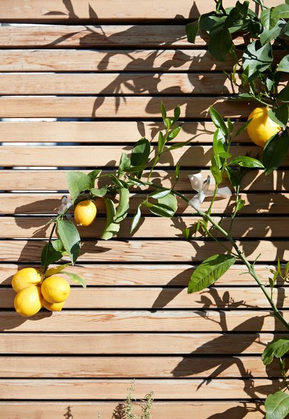Viarengo used the espalier method—in which a plant's branches are affixed to asurface to encourage them to grow flat—to save space. The lemon tree stretches across a fence of clear, or knot-free, red cedar. Tagged: Outdoor, Back Yard, Front Yard, and Side Yard.  30+ Best Modern Fences by William Lamb from A Heavenly Backyard is Precise with Pebbles