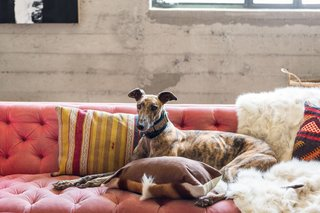 One of Morrison's greyhounds relaxes on the tufted sofa.