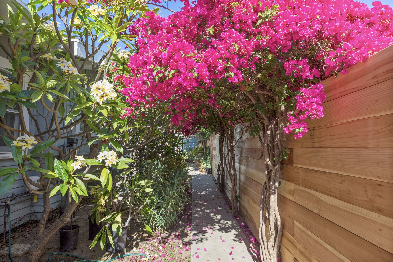 Bougainvillea and plumeria trees overlap to create a natural archway over the side walkway.  Photo 15 of 16 in An Artfully Reimagined California Craftsman Asks $1.2M