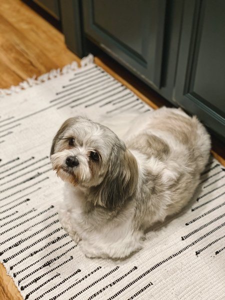 Bailey, a two-year-old Maltese and Shih Tzu mix, poses in the kitchen and helps make the tiny house a home.