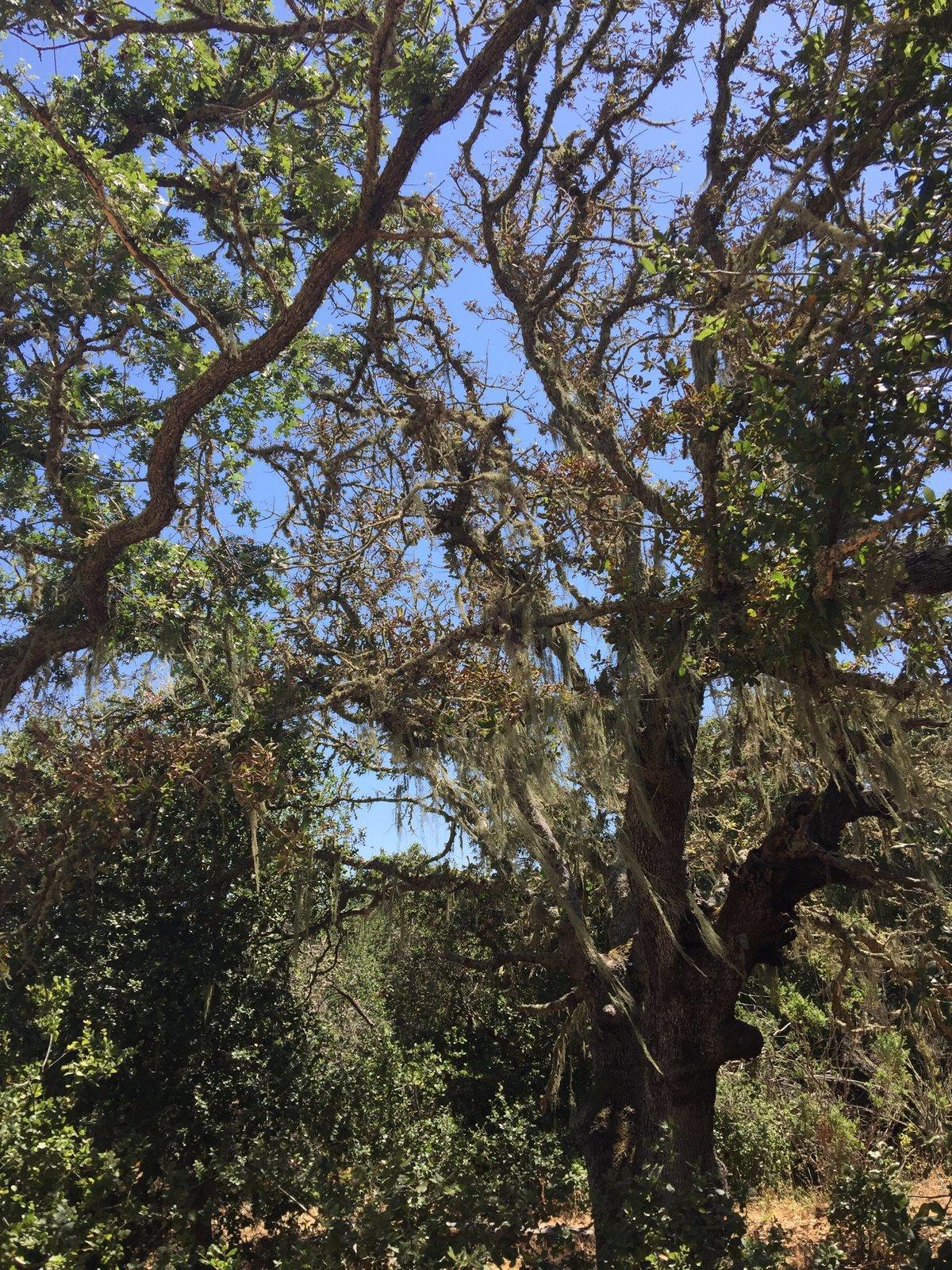 Mossy oak trees.  Photo 7 of 7 in Arastradero Preserve