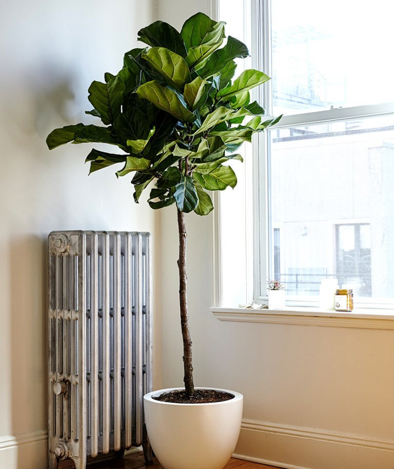 Fiddle leaf fig plants are great for early risers; Source: Sidney Bensimon/The Sill  Photo 4 of 5 in Why Plants Improve Mornings, by The Sill