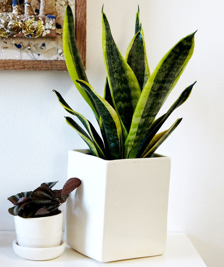 Hit the snooze button often? Select the snake plant; Source: Sidney Bensimon/The Sill  Photo 3 of 5 in Why Plants Improve Mornings, by The Sill