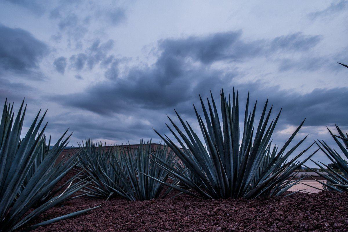 Local agave plants used in Tequila production compliment outdoor landscaping.  Photo 5 of 15 in Patrón Designed a Spanish Colonial Guest House with Modern Flair
