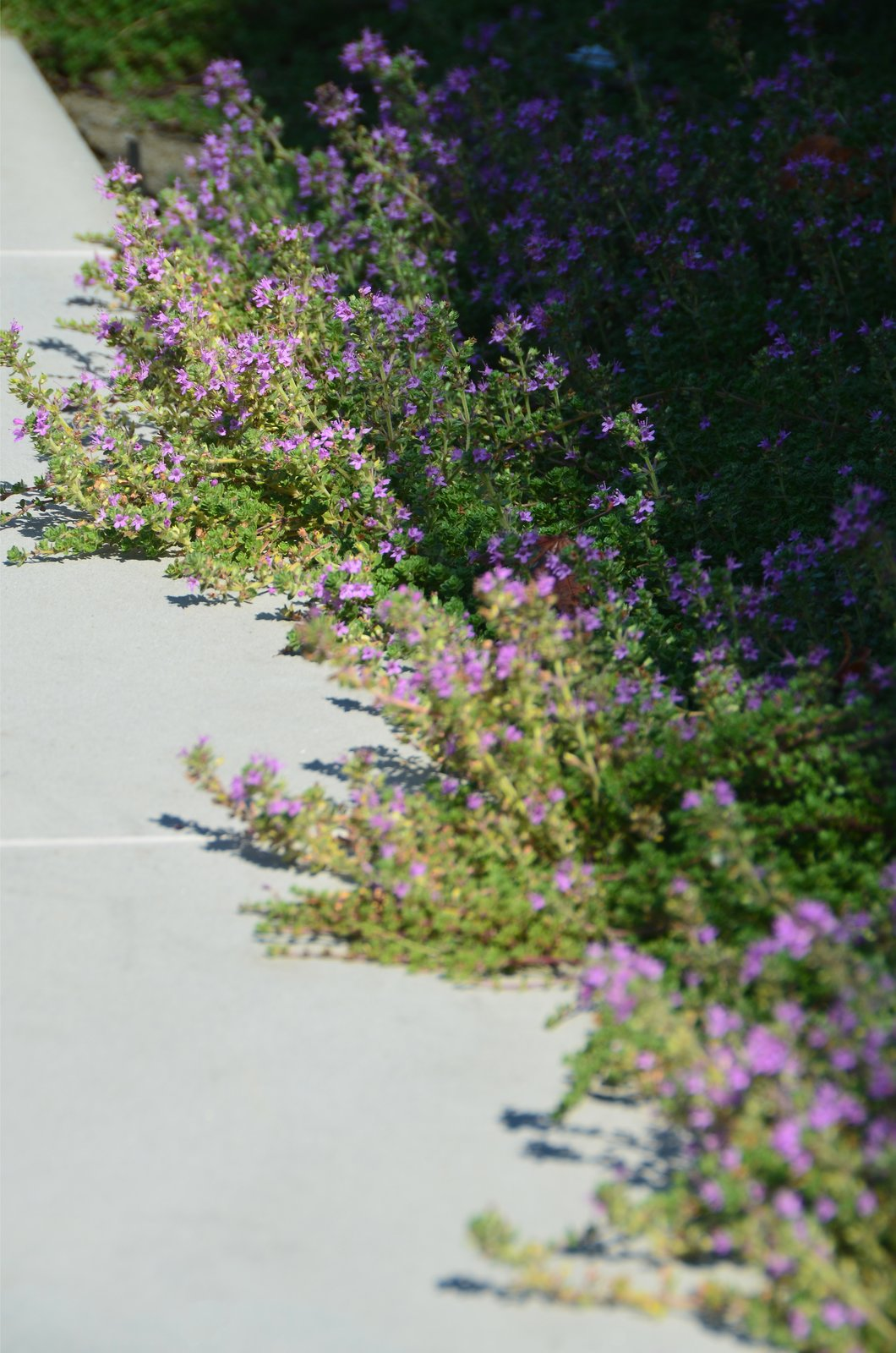Creeping Thyme Detail  Los Altos Hills Landscape by Greenblott Design