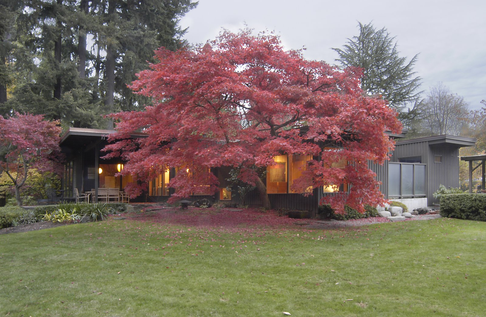 The new wing blends seamlessly with the original 1949 home, as it wraps around a majestic Japanese maple tree. The home, a prime example of Northwest Midcentury Modern architecture, adopts a muted color palette allowing it to coalesce with its natural surroundings.     Belluschi Addition by Richard Brown Architect