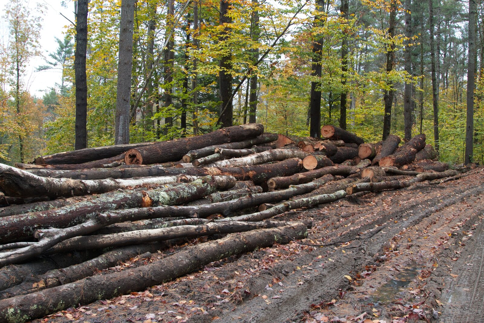 Photograph of felled trees in a forest.