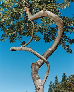 Two branches of a 20-foot-tall poplar spiral around one another.