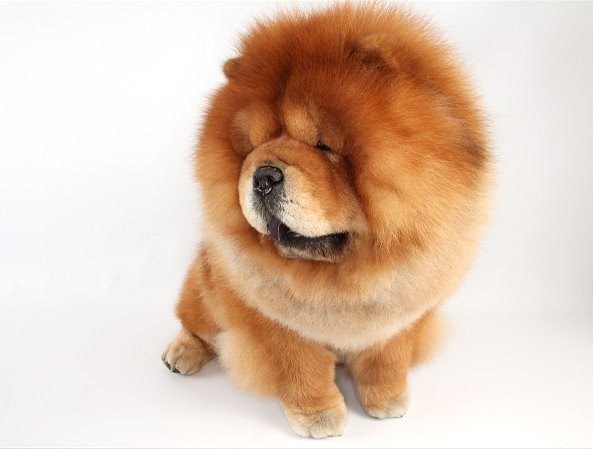 One of the cuddly canines at the Westminster Dog Show. Photo via The New York Times.