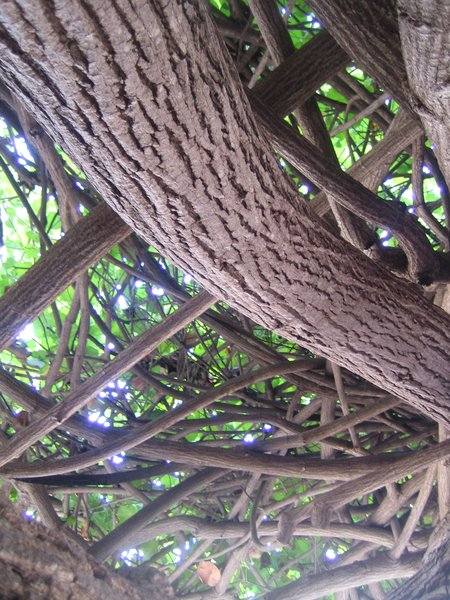 Looking up you hardly even see the sky for the intense thicket of branches and leaves.  Photo 2 of 5 in Hau Tree Lanai in Honolulu