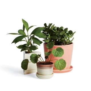 Jade (shown on the right) is a beautiful and popular household plant. Yet, it  can cause vomiting, a decreased heart rate, and even depression if ingested by pets. If you purchase a jade plant for your home, be sure it is placed out of reach from any animal.