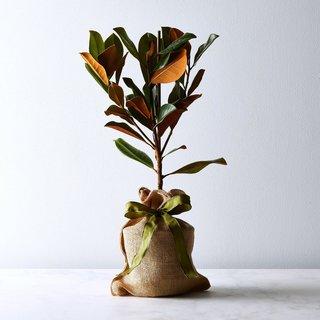 The Magnolia Company Southern Magnolia Tree Sapling