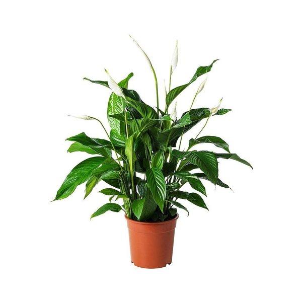 Live Peace Lily Plant
