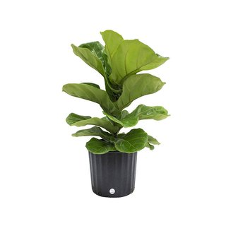 Live Fiddle Leaf Fig
