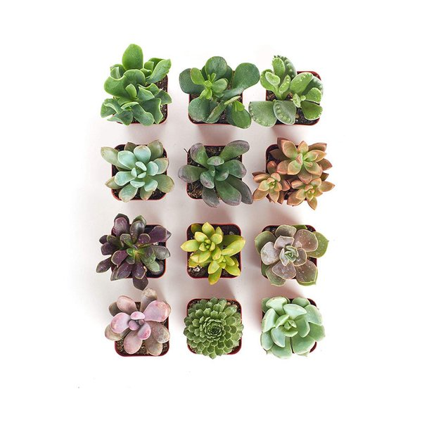 Shop Succulents Collection of 12