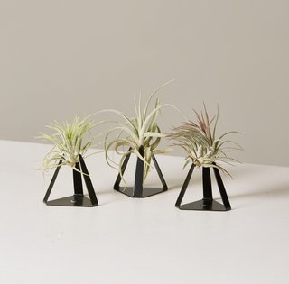 Air Plant Trio in Tillandz Stand Planter