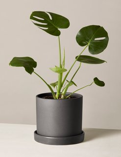 The Sill Monstera in Medium Hyde Planter