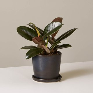 Rubber Plant in August Planter