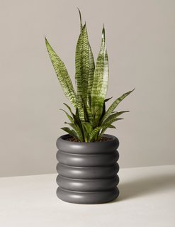 The Sill Snake Plant Zeylanica in Small Dolores Planter