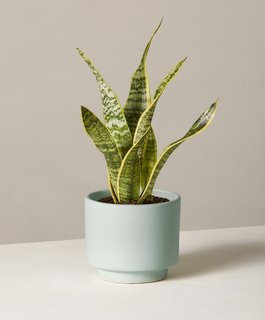 The Sill Snake Plant Laurentii in Small Prospect Planter