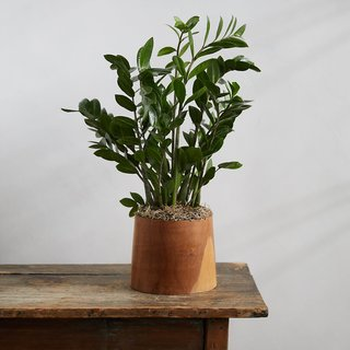 ZZ Plant, Teak Wood Pot