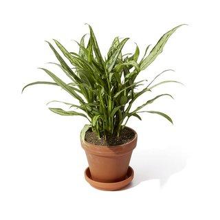Bloomscape Cutlass Aglaonema Plant