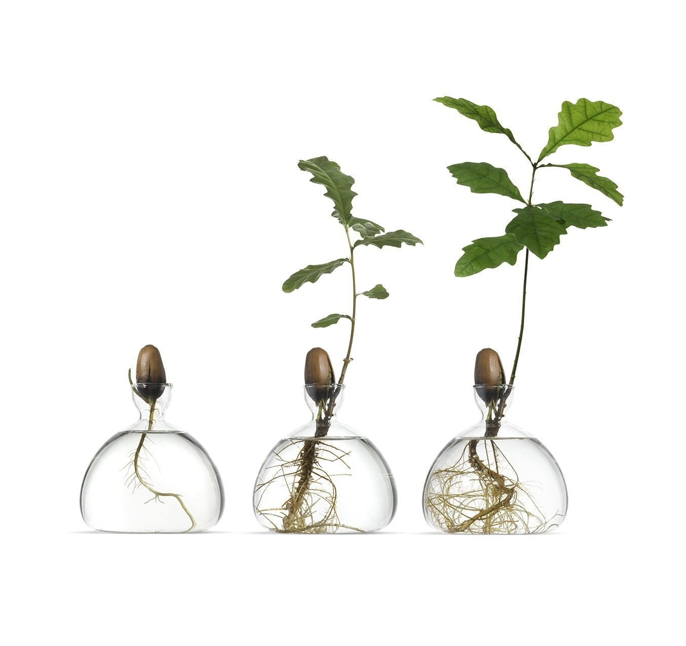 Watch a Future Oak Tree Sprout Roots With the Ilex Acorn Vase
