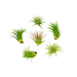 6 Low Light Air Plant Pack
