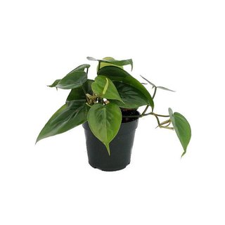 Hirt's Gardens Heart Leaf Philodendron
