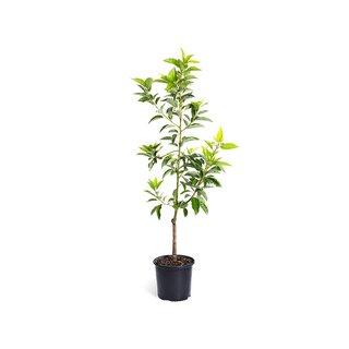Cold Hardy Avocado Tree