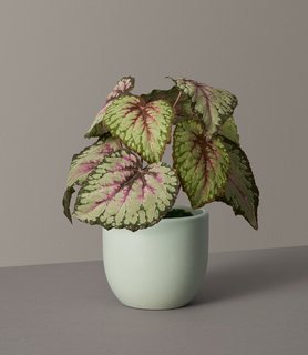 The Sill Faux Rex Begonia in Small Grant Planter