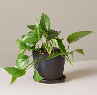 The Sill Pothos Jade in August Planter