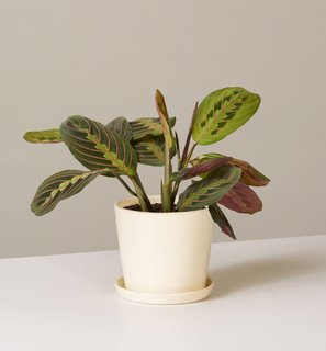The Sill Maranta in August Planter