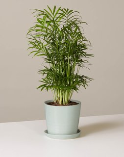 The Sill Parlor Palm in August Planter