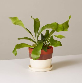 The Sill Staghorn Fern in August Planter