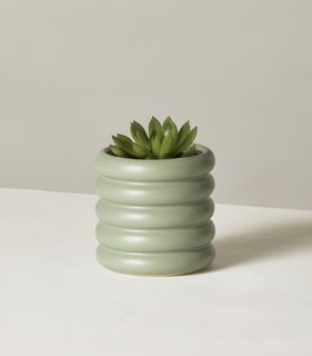 The Sill Echeveria in Mini Dolores Planter