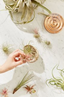 Small Live Assorted Air Plant - Set of 12