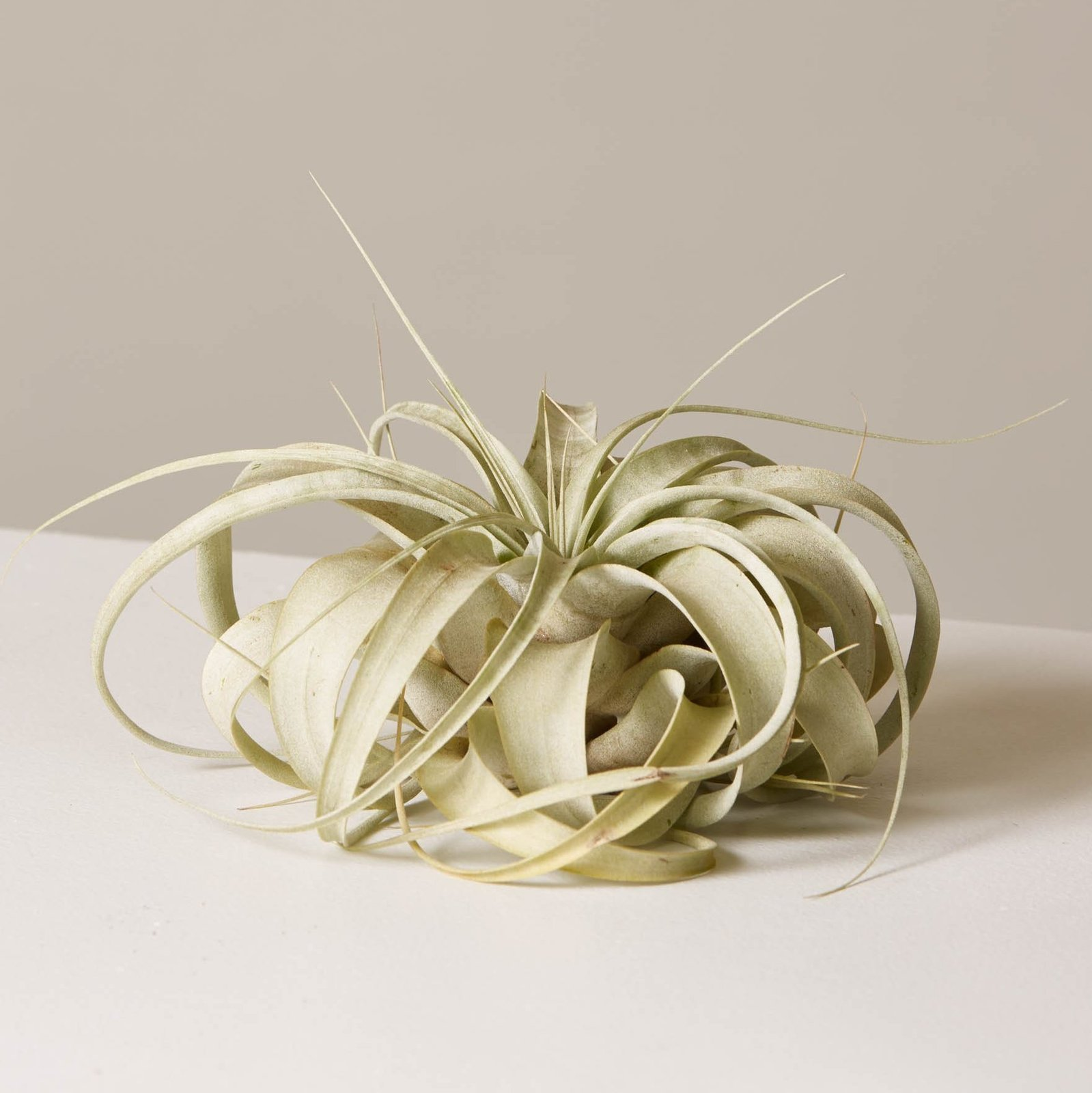 The Sill Xerographica Air Plant