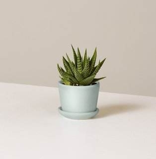 The Sill Haworthia Zebra in Ezra Planter
