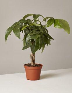 The Sill Money Tree Plant