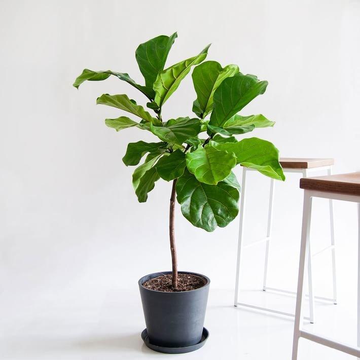 Bloomscape Potted Fiddle Leaf Fig Live Plant - Extra Large