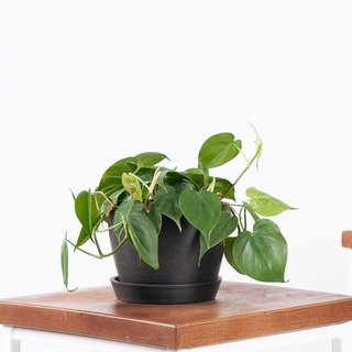 Bloomscape Potted Philodendron Heartleaf Plant - Small